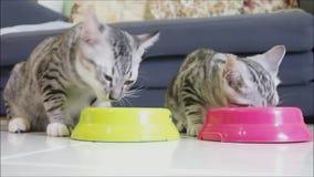 Leuk Amerikaans shorthairkatje die van de twee babygestreepte kat samen eten stock video