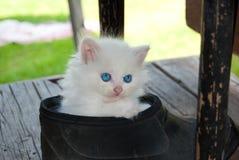 Leuk angora wit katje met blauwe ogen stock foto's