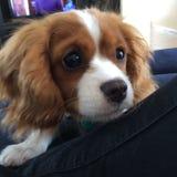Leuk arrogant puppy Royalty-vrije Stock Foto