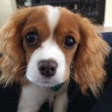 Leuk arrogant puppy Royalty-vrije Stock Foto's