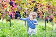 Leuk babymeisje die verse rijpe druiven in wijnstokwerf eten Stock Afbeelding