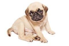 Leuk beige pug puppy royalty-vrije stock foto