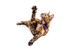 Leuk Bengalen Cat Raising Arm royalty-vrije stock foto