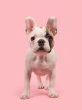 Leuk bevindend Frans die buldogpuppy van de voorzijde op een roze achtergrond wordt gezien royalty-vrije stock fotografie