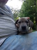 Leuk blauw eyed puppy stock foto