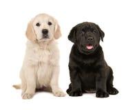 Leuk blond golden retriever en zwart labrador retriever-puppy stock foto's