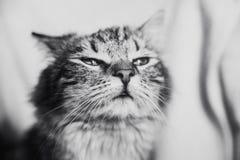 Leuk bruin gestreept kat het snuiven portret horizontaal in zwart-wit stock fotografie