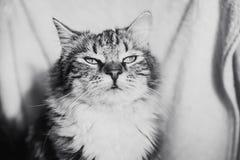 Leuk bruin gestreept katten dromerig portret horizontaal in zwart-wit stock afbeelding