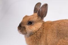 Leuk bruin konijntje op witte achtergrond stock afbeeldingen