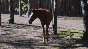 Leuk bruin merrieveulen in het hout stock footage