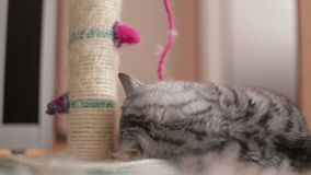 Leuk Cat Playing With Toy At-Huis, die op de vloer/Leuke Cat Playing With Toy liggen stock video