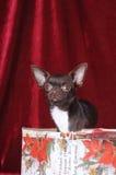 Leuk chihuahuaportret in de doos van Kerstmis Stock Foto's