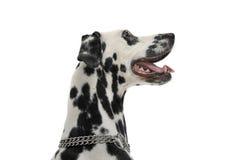 Leuk dalmatians zijportret in een witte achtergrondfotostudio Stock Foto's