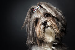 Leuk de hond overhellend hoofd van Bichon Havanese op zwarte achtergrond Royalty-vrije Stock Afbeeldingen