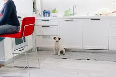 Leuk de terriërpuppy van hefboomrussell in witte keuken Royalty-vrije Stock Foto