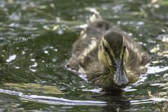 Leuk eendje die in Britse vijver zwemmen royalty-vrije stock afbeelding