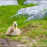 Leuk Eenzaam Gansje in Park Royalty-vrije Stock Afbeeldingen
