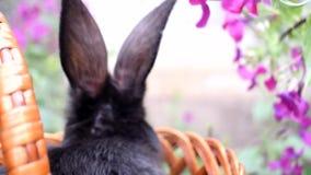 Leuk eet weinig zwarte konijnzitting in een mand en de lentebloemen Concept de Pasen stock video