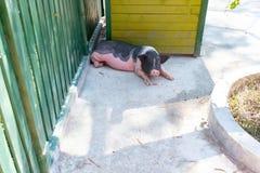 Leuk en klein varken in dierentuin stock afbeelding