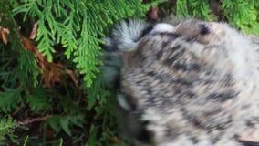 Leuk Europees-Aziatisch Eagle Owl stock footage