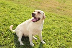 Leuk geel labrador retriever in openlucht royalty-vrije stock foto