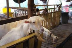 Leuk geitjong geitje in landbouwbedrijf, conceptenlandbouwbedrijf, dier, reis Thailand Stock Fotografie