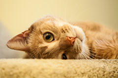 Leuk Ginger Cat die bij de Bovenkant van de Treden rollen stock fotografie