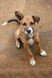 Leuk Ginger Little Dog, het Nationale Park van Yala, Sri Lanka, Azië Royalty-vrije Stock Fotografie