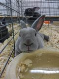 Leuk Grey Bunny Rabbit Resting On een Kom Water royalty-vrije stock afbeelding