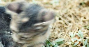Leuk grijs katjesspel in de hand van de grasclose-up - gehouden schot stock video