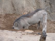 Leuk grijs wortvarken royalty-vrije stock fotografie