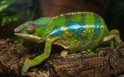 Leuk groen kameleon op tak royalty-vrije stock foto's