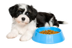 Leuk Havanese-puppy die naast een blauwe voedselkom liggen Royalty-vrije Stock Afbeelding