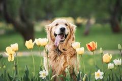 Leuk het glimlachen golden retriever in bloemen in park stock afbeeldingen