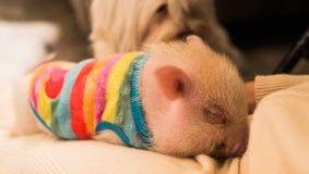 Leuk het glimlachen roze minivarken, vage achtergrond stock foto