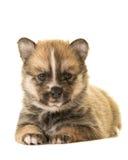 Leuk het liggen pomsky puppy Stock Foto's