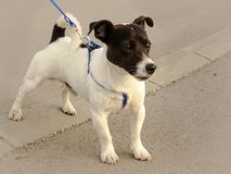 Leuk Jack Russell-puppy die op een leiband lopen stock foto's