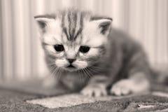 Leuk katje Britse Shorthair Stock Afbeeldingen