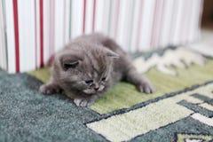 Leuk katje Britse Shorthair Royalty-vrije Stock Foto