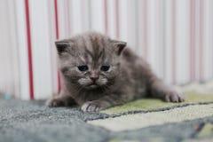 Leuk katje Britse Shorthair Royalty-vrije Stock Afbeelding