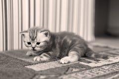 Leuk katje Britse Shorthair Royalty-vrije Stock Fotografie