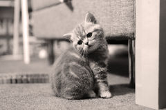 Leuk katje Britse Shorthair Royalty-vrije Stock Foto's
