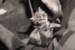Leuk katje in een deken Stock Fotografie