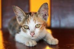 Leuk katje met afluisteraar Stock Afbeelding