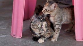Leuk katje met haar moeder stock footage