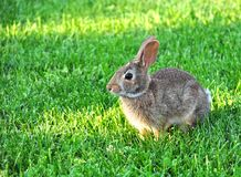 Leuk katoenstaartkonijnkonijn in het gras Royalty-vrije Stock Afbeeldingen