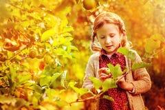 Leuk kindmeisje dat appelen van boom in zonnige de herfsttuin verzamelt Stock Afbeeldingen