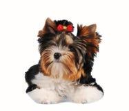 Leuk klein puppy dat op wit wordt geïsoleerdm Royalty-vrije Stock Afbeelding