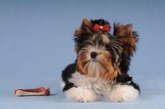 Leuk klein puppy met groot been Royalty-vrije Stock Afbeelding