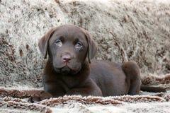Leuk Labrador puppy Royalty-vrije Stock Afbeelding
